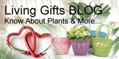 Unique Corporate Gifts India, Soft Toys Online Shopping, New Year Gifts to India, Valentine's Day Gifts by India Florist, India Shopping. Flowering Plants In India, Bonsai Plants For Sale, Bonsai Plants Online, Order Plants Online, Gifts For Your Boss, Boss Gifts, Best Online Flowers, Feng Shui Plants, Anniversary Gifts For Parents