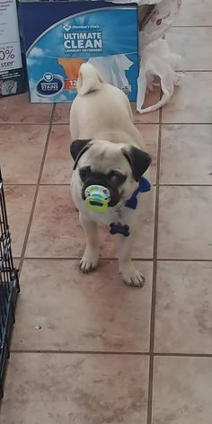 Puggy sues first time at the beach httpsift2hljpvm pugs puggy sues first time at the beach httpsift2hljpvm pugs pinterest dog animal and english bulldogs thecheapjerseys Choice Image