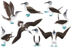Blue-footed booby #animal #bird #vector #zoo #booby #sula #bluefooted #marine #fisheater #diver