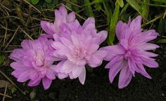 Colchicum Waterlily | YouTulip.co.uk | Flower bulb web shop |
