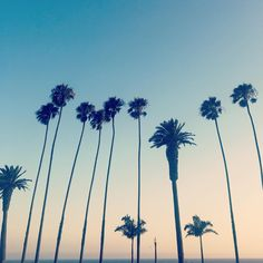 Palm Trees in Los Angeles. Love the sunsets in Santa Monica.