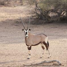 The Gemsbok  - Kgalagadi Transfrontier Park