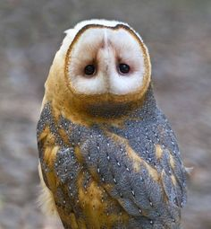 }{    Barn owl head turning