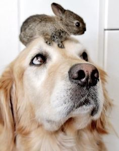 Golden Retriever who looks like he's trying to figure out how a bunny got on her head.  #puppied