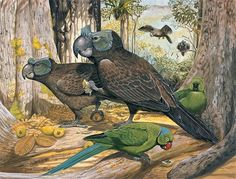 Broad-billed Parrot | Broad-billed Parrot, 1860, Mauritius