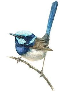 birdie Museum quality prints by artist Guy Troughton. Bird Drawings, Animal Drawings, Watercolor Bird, Watercolor Paintings, Image Deco, Australian Animals, Bird Illustration, Bird Pictures, Bird Prints