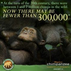 The sad tale of the Chimpanzees.