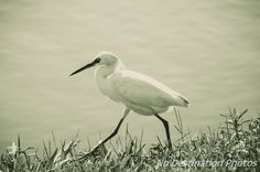 Little Egret hunting on the shore of a lake during the morning