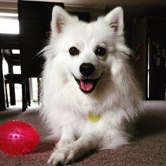 Meet Japanese Spitz Abbie, Dog of Jayne: Japanese Spitz, New Zealand, Meet, Dogs, Animals, Animales, Animaux, Pet Dogs, Doggies
