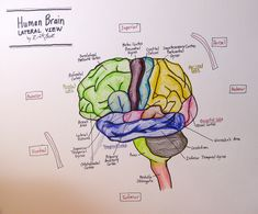 Labeled Pictures Of The Brain . Labeled Pictures Of The Brain 28 Collection Of Brain Drawing Labeled High Quality Free Human Brain Anatomy, Human Anatomy Drawing, Human Brain Diagram, Wernicke's Area, Brain Lobes, Function Diagram, Brain Pictures, Brain Drawing, Brain Illustration
