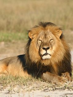 Cecil The Lion's Death Inspires New Jersey Bill To Protect Endangered Species