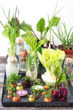 Best vegetables & herbs to regrow from kitchen scraps in water or soil. Start a windowsill garden indoors, or grow foods using grocery lettuce, beets, etc! Urban Gardening, Container Gardening, Gardening Tips, Beginners Gardening, Herb Garden In Kitchen, Home Vegetable Garden, Kitchen Herbs, Regrow Vegetables, Growing Vegetables