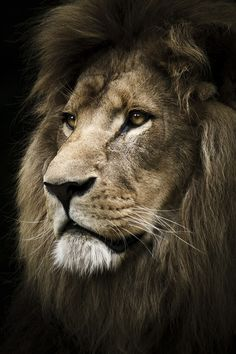 theanimalblog:  by Nassim Hasan Male Lion http://thewildanimalstore.com/category_jungle_animals/JUN_J0003_Male_Lion.htm