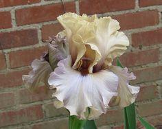 Photo of Tall Bearded Iris (Iris 'Enter the Dragon') uploaded by Lestv