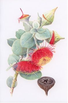 Euc. rhondantha   Watercolour  by Helen Fitzgerald