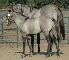 Dun Horse Markings | Ladies Smoky Dude x Dun Twisted Boss Bar