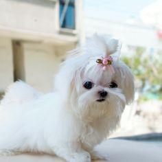 tiny, beautiful, cute maltese