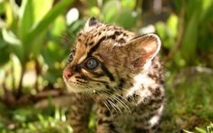 A margay kitten. ... Margay wildcats of South and Central America bear litters of only one kitten (rarely two) per 80 day gestation. The species was considered vulnerable to extinction, but in 2008 its status was withdrawn to near threatened.