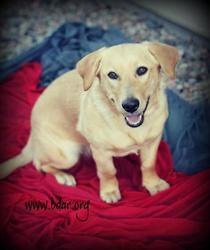Angie is an adoptable Labrador Retriever Dog in Cheyenne, WY. ...