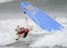 Cody, a one-year-old Cockaweenie, bails during the surfing competition of the Purina Incredible Dog Challenge in San Diego, California, in this Purina handout taken June 8, 2012. This canine sporting event features a variety of events including dog surfing, dog diving, freestyle flying disc, head-to-head weave poles, Jack Russell hurdle racing and agility. REUTERS-Gus Ruelas-Purina-Handout