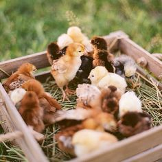 Adorable Baby Chicks on the Farm in their Little Nest Box Country Farm, Country Life, Country Living, Gallus Gallus Domesticus, Future Farms, Spring Aesthetic, Down On The Farm, Farms Living, Tier Fotos