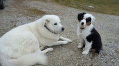 Buddy (6 year old Maremma) and Boone (3 month old Australian Shepherd)