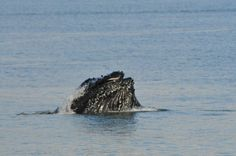 Humpback whale lunge feeding – whale watching tour from Auke Bay, Juneau.