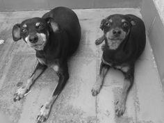 93 412 00 73 - En adopción juntos - Tienen 9 y 10 años. Pinscher.