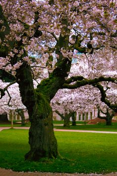 Beautiful cherry blossom tree on the UW Quad.
