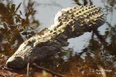 Crocodile Of Tadoba Lake, TATR