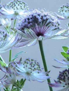 """previous pinner wrote: """"This is astrantia or Masterwort.  I love the look of this perennial.  It is hard to find but worth the effort.  Piet Oudolf uses this in his masterful designs."""""""