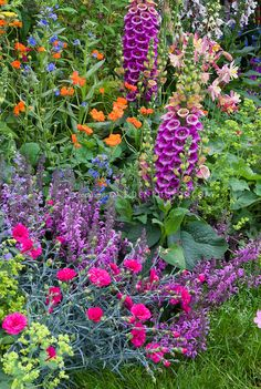 Mixed late spring / early summer  garden of Nepeta catmint, tall vertical perennial plants of Digitalis foxglove, Achillea, Alchemilla lady's mantle, Dianthus, Salvia, Aquilegia columbine, Anchusa blue flowers, for variety of texture, heights, shapes in flowering garden bed border combination in pink, purple, blue, yellow, red, green, orange mixture of colors