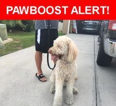 Is this your lost pet? Found in Lutz, FL 34639. Please spread the word so we can find the owner!  White golden doodle   Nearest Address: Near State Hwy 54 & US Hwy 41