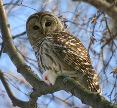 Barred Owl (Strix varia) by Art Mcleod