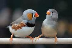 zebra finch - Yahoo Search Results Yahoo Image Search Results