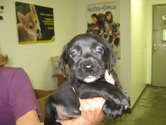 ABIGAIL is an adoptable Labrador Retriever Dog in Summersville, WV. Abigail is a 6 week old female black and white lab/beagle mix. She came to the shelter on 6/12/13 with her 5 siblings and is current...