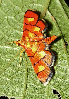 Moth - Uganda <3