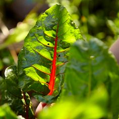It's true. Chard is a superfood better for you than kale and it's easy to grow your own. Add it to your kitchen garden this spring for summer long greens.