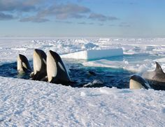 Pod of orcas spyhopping amongst the breaking sea ice, Ross Sea, Antarctica. The Orca's spyhop through gaps in the ice to determine how they can reach new fishing grounds. Orcas, Vida Animal, Save The Whales, Ocean Creatures, Killer Whales, Underwater World, Sea World, Ocean Life, Marine Life