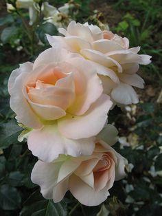 'Marie Antoinette' | Floribunda Rose. Rosen Tantau 2003