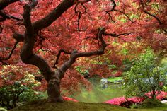 A Japanese Maple tree.  I may be buying one like this (only smaller) for my front yard.  I think they are such beautiful trees.