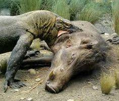 Risultati immagini per varano di Komodo