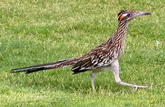 The greater roadrunner (Geococcyx californianus) was designated the official state bird of New Mexico in also called the chaparral bird, el correcaminos, and el paisano. Kinds Of Birds, Love Birds, Beautiful Birds, New Mexico, Greater Roadrunner, Death Valley National Park, State Birds, Land Of Enchantment, Backyard Birds