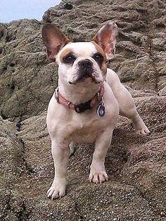Meet Brigitte, the French Bulldog Behind Stella on Modern Family