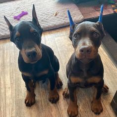 How to Stop Dogs and Puppies Barking Guardians in development -. Doberman Pinscher Puppy, Doberman Dogs, Dumb Dogs, Big Dogs, Black Dogs Breeds, Dog Breeds, Black Doberman, Puppy Barking, Lab Puppies