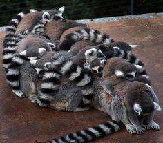 Lemurs always sleep all snuggled together... It's called a Lemur Ball lol. I learned this at Heaven's Corner Zoo when I volunteered there bc they had some and when I came in the morning they were always like this :) they're so cute :)