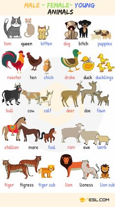 Baby Animal Names! What are the names of baby animals and their parents in English? Learn these young, male and female animal names with ESL pictures to increase your vocabulary words in English. Learning English For Kids, English Lessons For Kids, Kids English, English Language Learning, English Study, English English, English Class, French Lessons, Education English
