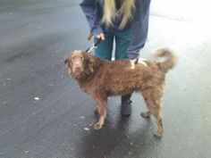 #COFlood #COPets FOUND DOG: Sweet male chocolate Lab mix found 9/14 in Ft Collins near Odea Elementary. Call Katy 970-391-8703 or Reonna 303-507-4122. http://fortcollins.craigslist.org/pet/4077646803.html