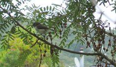 Male Grey Warbler or Riroriro Feb 26th 2014