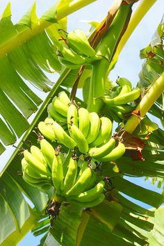 自然栽培島バナナ(与那国島)【約1kg】 ※8月末までクール便配送